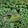 "April 15, 2010 A frog in the pond... I was at <a href=""http://www.bhwp.org/"">Bowman's Hill Wildflower Preserve</a> today, and it was a bit early for the flowers, so the best photos I got were of a bunch of frogs in a pond.  They must have liked me or they thought that I couldn't see them while they were blending in with the algae.  More Frog Photos and Bowman's Hill Photos can be found <a href=""http://www.mattpilsner.com/Photography/Photography-Outings/bowmans-hill/11857705_fJF6t#838593318_CYAjX"">HERE.</a>"
