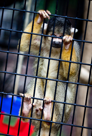 August 25, 2010 A Squirrel Monkey at the Turtle Back Zoo.