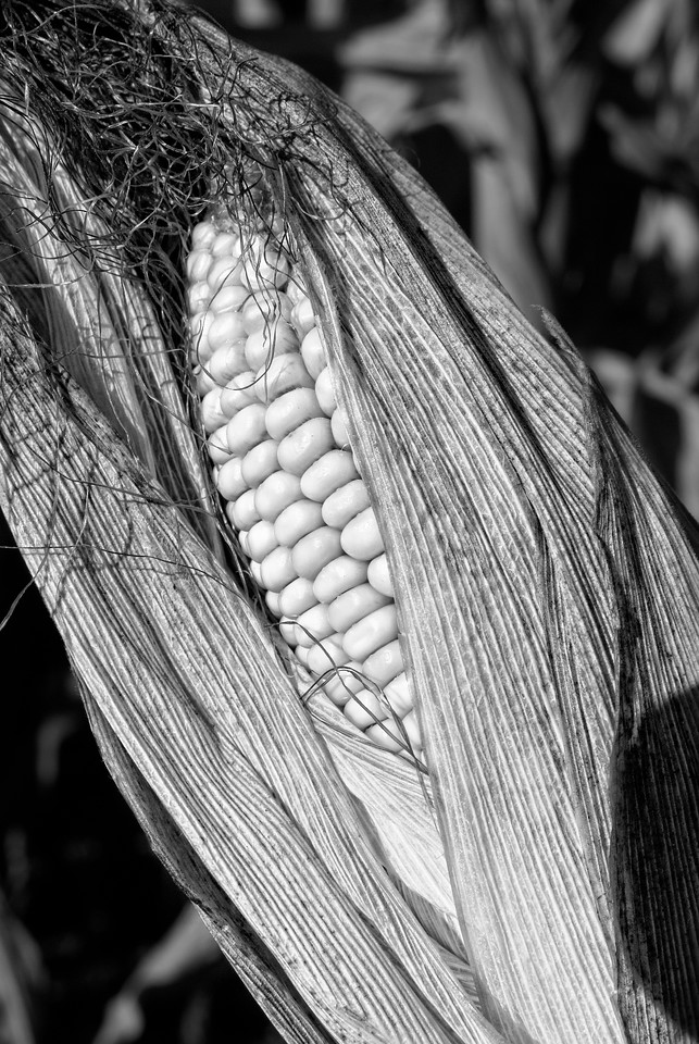 Pop Corn - The corn is popping out, it is almost ready for harvesting. Have a great day - JY