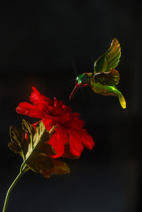 November 16  I loved the way the morning sun was playing with my pet hummingbird!
