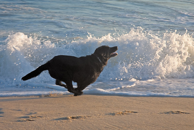<h3>That Impossible Black  Dog</h3> Well, at least it shows that she really can run again and how much fun she has in the surf.  Darn shadow details.  It's so easy to underexpose or overexpose her and so hard to recover from either.  This one was underexposed and I had to use every trick I know to bring out what little detail there was.  And I know, it still doesn't look right.  I've tried shooting with a flash, and that looks really bad.  I guess a little overexposed is better, at least there's hope for post.  24 July 2006