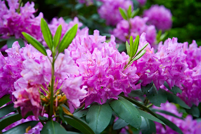 <h3>Still Trying to Catch...</h3> ...that impossible rhododendron color.  Maybe a little better this time in the rain.  2 June 2006