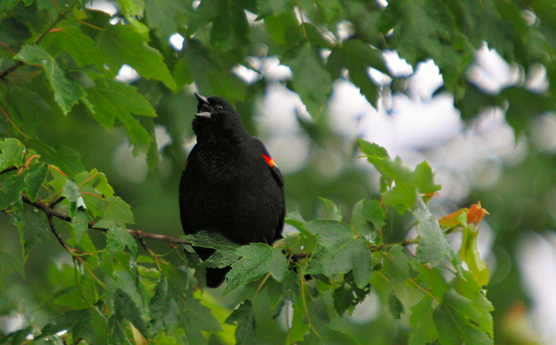 <h3>Red Winged Black Bird</h3> 10 June 2006