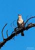 Hear ye, hear ye<br /> <br /> (December 17, 2012) This mockingbird had a lot to say.