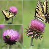 "06/05/11 - Butterfly, Bee, and Thistle by Madi Age 7<br /> <br /> Madi shot these pics with my SX10 IS while I took shots with my S3 IS.  I had bought the SX10 IS as my new camera about 2 years ago, but I never adopted it as my camera of choice because I find that it has less clarity than the S3.  At any point, it works just fine for Madi.  She's really gotten the hang of standing 4' from the subject, zooming out to find the subject, zooming all the way in, holding still, and taking the shot...as you can see.  I've got to competition!  <br /> <br /> I had her do all the typing on creating the collage with Picasa.  I don't think she could do it 100% without me helping her verbally drive, but a few more, and I bet she's self sufficient on that too!  <br /> <br /> She's excited to share this with you!<br /> <br /> The shot on the right is in my June gallery here:<br /> <br /> <a href=""http://fotomom.smugmug.com/Nature/June-2011/17389966_Qt2vxj#1322288506_fJpMWXD"">http://fotomom.smugmug.com/Nature/June-2011/17389966_Qt2vxj#1322288506_fJpMWXD</a><br /> In case you wanted to see the exif or compare it side-by-side with my S3 shot.  Upload is too slow at dad's house to load the rest of the shots before I get home."