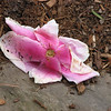 02/28/11 - Fallen Magnolia Flower - By Madi Age 7<br /> <br /> ---<br /> <br /> Madi took this shot at Plant Delights on Sunday.  We thought the bloom down on the rock and mulch was interesting.