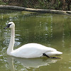 03/15/11 - Trumpeteer Swan - Madi Age 7<br /> <br /> MeMe, look at that swan!  I have got to get a picture!<br /> <br /> ---<br /> <br /> For a while at the Sylvan Heights Waterfowl Park I had trouble taking any pictures because Madi and Joey were so busy and asking for turns:-)  Instead of carrying in a 2nd camera, i carried in a polarizing filter. I really would have been better off with the second camera.  <br /> <br /> I believe the sign said this is the largest of the swans.