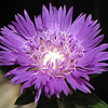 "05/29/11 - Purple Glow by Madi Age 7<br /> <br /> I remember Madi getting excited when she saw this flower at The Garden Hut.  We had been working on dof and isolating flowers yesterday.  I taught her to stand 3' - 4' away from the subject flower, zoom all the way out, get the 'box' on the flower, and zoom all the way in keeping the box on the flower and then slowly press the shutter button.  She mastered this pretty quick and was taking much more focused flowers pretty quick.    We talked about full frame shots and bending the 'young' knees, and how to get a better background for the main subject too.  I showed her how to go in and out of macro mode on that camera.  She was really interested and took over 150 pics with my SX10 IS.  <br /> <br /> Way to go Madi!  A picture of her taking pictures:<br /> <br /> <a href=""http://fotomom.smugmug.com/Nature/May-2011/16865229_xX2Jk5#1311515283_ZXVVLLR"">http://fotomom.smugmug.com/Nature/May-2011/16865229_xX2Jk5#1311515283_ZXVVLLR</a><br /> <br /> Oh, this looks like a cross between scabosia (pin cushion flower) and bachelor button.  Hmmm...<br /> <br /> I cropped this but not much.  Original:<br /> <br /> <a href=""http://fotomom.smugmug.com/Nature/May-2011/16865229_xX2Jk5#1311522106_fPvmxSL"">http://fotomom.smugmug.com/Nature/May-2011/16865229_xX2Jk5#1311522106_fPvmxSL</a>"