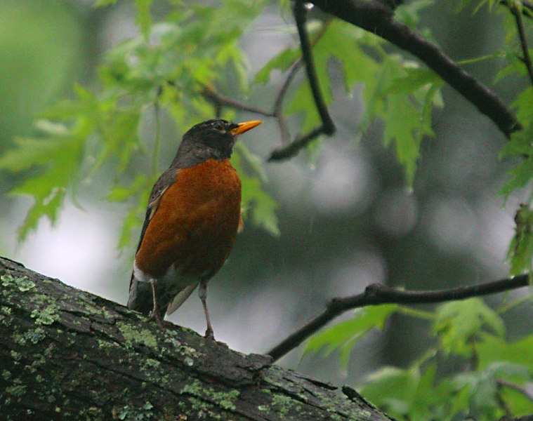 <h3>Robin in the Rain</h3> 26 May 2006