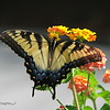 07/22/15 - Swallowtail on Lantana