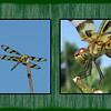 "07/03/09 - Hi everyone!  This is a Halloween Pennant dragonfly.  I shot the macro picture on the right last Saturday.  I shot the perched on a stick up high shot on the left yesterday afternoon.  I'm trying to learn how to, um, enhance my pics in Photoshop Elements, so I practiced making this collage last night.  <br /> <br /> You can look at the original pics of these two images here:<br /> <br />  <a href=""http://fotomom.smugmug.com/gallery/8773300_kUQPY#580800595_CFDpc"">http://fotomom.smugmug.com/gallery/8773300_kUQPY#580800595_CFDpc</a><br /> <br /> On a happy note, in the morning, there was an Indigo Bunting on a tree limb at the swamp yesterday.  That's my first personal sighting.  And, I even got a decent picture of him...just not quality enough to make it my daily.  I was SO excited.  A hummingbird took turns with the bunting and a Scarlet Tanager in the same tree. It was so neat.  <br /> <br /> I also saw a Viceroy Butterfly on a Buttonbush plant and got a few pics of him.  The clarity was a bit disappointing, but I was excited.  <br /> <br /> I'm off with the boys and their little girlfriend, Madi, to Yates Mill Pond, Lake Wheeler, and probably the mall today.  I'm sure I'll be taking pictures:-)"