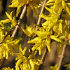 "03/20/10 - Forsythia <br /> Another sure sign of spring.  Bright yellow forsythia stalks (bushes) reaching for the sky in all their glory.  <br /> <br /> I'm not totally sure that I'm happy with the focal point being off center, but I was drawn to the diagonal lines of the stalks.  Taken at Home Depot while I was picking up my new 500gph pond pump.  The employees and some customers in the parking lot were smiling at how I was taking pictures, so I snapped their picture too:-)  I try to go with the flow when I get spotted.  If it had been a great shot, I'd have posted it, but it turned out ho hum.<br /> <br /> Here is the shot I almost posted:<br />  <a href=""http://fotomom.smugmug.com/Nature/March-2010/11391408_8boNH#814524278_8ArWY"">http://fotomom.smugmug.com/Nature/March-2010/11391408_8boNH#814524278_8ArWY</a><br /> It's a sunny star magnolia shot from my yard.  I kindof figured not different enough from the one I posted 2 days ago although I love the blue tones in the star magnolia shots from yesterday.<br /> <br /> So, I did get the pond pump installed.  The bell fountain looks and sounds pretty again.  I was outside last night with the flashglight enjoying watching the fish and the frogs swim about.  Very clean water with the water cycling correctly.  <br /> <br /> It was so warm here yesterday (high 70s) that Johnny wanted to play in his little pool and water on the back deck.  I obliged.  I figured when he got cold from the well water he'd ask to dry off:-)  I also warned him not to sit down in the pool.  He was stubborn:<br />  <a href=""http://fotomom.smugmug.com/Nature/March-2010/11391408_8boNH#814291963_evaUc"">http://fotomom.smugmug.com/Nature/March-2010/11391408_8boNH#814291963_evaUc</a><br /> He actually lasted an hour out there and then came in for popcorn and a movie under his blankie.  But boy did he have cold feet!<br /> <br /> We will not be past the date of last frost/freeze until 4/15.  My fingers are crossed our pretty plants will not get ruined this year.  <br /> <br /> Robot Rumble today at the museum in Durham.  I'll catch up with you guys when I get in front of the TV tonight and am processing the pictures.<br /> <br /> Thanks for stopping by to view the cherry blossom shot from yesterday:-)<br /> <br /> HAGD,<br /> Maryann"