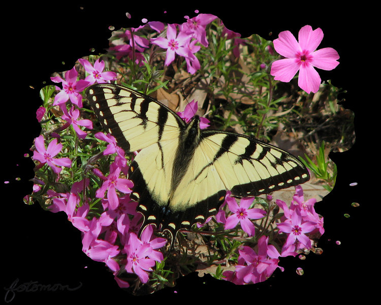 03/31/11 - Spread Those Wings<br /> <br /> This is another shot from my butterfly 'chasing' Tuesday afternoon.  Yesterday is was rainy and cloudy all day:-(  The phlox is in my yard, and before and after I took the wisteria shots, I was lucky enough to spy swallowtails on the phlox and get pictures.  I have to say that it's harder on the knees to get down at ground level to chase these guys than it is to walk around a butterfly or lantana bush where they are higher up.  Good exercise up and down moving down the line of plants and back up the line of plants on my front  bank.<br /> <br /> As luck would have it, this nice shot where the wings were open was a tad farther away than I wanted, so it's cropped a bit.  I fixed white spots on the pretty petals on both the shot and the added on flower (from another picture that day).  I toned the pink down just one notch.  It really is THAT pink.  I added the frame with OnOne's PhotoFrame.  It's one in the Splatter series under the Grunge category, and I don't remember using before.  The nice thing is once you get the frame over the picture, you can move the butterfly around to center it up.  I slid it right a tad.  That left a hole on the far left through the frame to nothing, so I cloned a pink dot under that hole to fill it in.  The pink is soooo pink that I thought the black frame did a nice job of letting us appreciate the flower while not being blinded.  What do you think?<br /> <br /> Thanks for your comments on the wisteria picture.  I grew up with a vine in my backyard in NJ.  I used to go out in the spring and sit with my dog Shawnee and pick a 'grape' bunch or two and smell the beautiful blossoms.  Ah...such a great smell.  Although it's invasive, at least it does give back so much beauty.<br /> <br /> Off on a field trip to Noah's Landing (rescue zoo) with Johnny's class today.  The weather is not cooperating, but hopefully it will be a fun day anyway.<br /> <br /> HAGD,<br /> Maryann