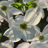 "04/07/10 -Dogwood Blossom<br /> Now that the Bradford Pear and Yoshino Cherry blossoms are fading way to leaves, the Dogwoods have opened.  Did you know that the Dogwood is the NC state tree?  Yep!  And there are a lot growing naturally in the area.  A beautiful sight to see.<br /> <br /> This was my last shot of the day on Monday as the kids and I finished up a walk with our dog, Buddy, after work.<br /> <br /> I took a picture of the stair steps at work yesterday to give you a feel for the amount of pollen that's down right now:<br /> <br /> <a href=""http://fotomom.smugmug.com/Nature/April-2010/11699927_Ufdur#829868688_E3c3Q"">http://fotomom.smugmug.com/Nature/April-2010/11699927_Ufdur#829868688_E3c3Q</a><br /> So much so that footprints were being made.  I also took a few pics of cars that were covered.  I wanted so much to find a dark car that was covered and write YELLOW on the hood or trunk and snap a shot, but no proper opportunity presented itself.  <br /> <br /> Thanks for the comments on the wisteria shot.  It did smell good, and it was covered in MANY bees too.  We have a local bee keeper now, so the bees are plentiful and doing their thing.<br /> <br /> HAGD,<br /> Maryann"