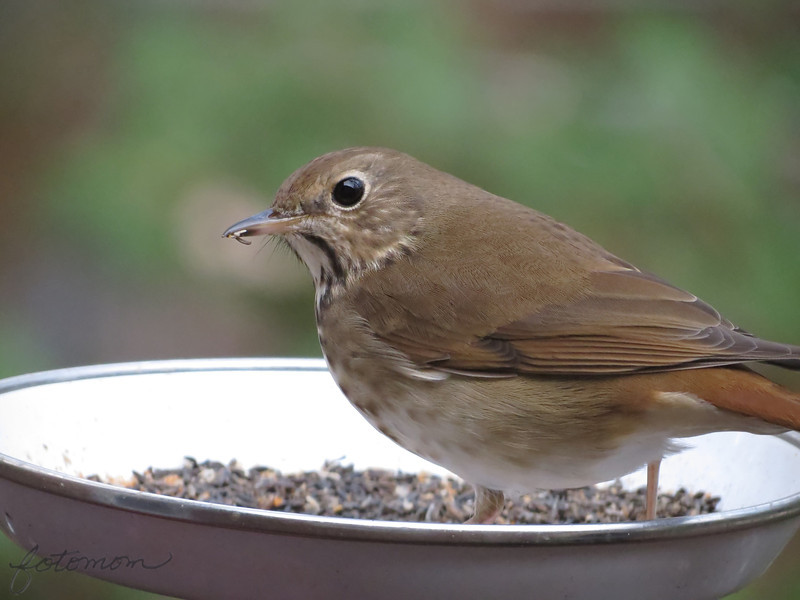 "02/08/11 - Hermit Thrush  My Blog:  http://maryanng.blogspot.com/2012/02/hermit-thrush.html  My daily post is a picture of a <a href=""http://www.wbu.com/chipperwoods/photos/hermthrush.htm"">Hermit Thrush</a>.  I've seen this type of  bird in my yard before during other winters, but in particular, I noticed that this bird showed up 3-4 days ago.  I got lucky tonight, and he/she sat in the food dish for a solid 10 minutes while I prepared dinner.  It was pretty easy to capture some shots although the light was low.  My favorite is the one I posted which unfortunately has good detail but I cropped off the tail.  I'll share this one as my second favorite. The detail is less sharp, but the pose and the whole bird being in the frame are a plus. That whitish line is a fence post way at the back of the yard  that I wish was missing from the shot too!  <a href=""http://fotomom.smugmug.com/Nature/February-2012/21295967_jprxmk#!i=1703034126&k=b7rx3rT"">SmugMug Link</a>  I took a really neat shot with a shadow today, and it's all I can do to wait to post it tomorrow for Paula's challenge!   Thanks for your comments on my blue and red glass shot from yesterday.  HAGD, Maryann"