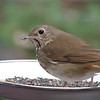 "02/08/11 - Hermit Thrush  My Blog:  http://maryanng.blogspot.com/2012/02/hermit-thrush.html  My daily post is a picture of a <a href=""http://www.wbu.com/chipperwoods/photos/hermthrush.htm"">Hermit Thrush</a>. &nbsp;I've seen this type of &nbsp;bird in my yard before during other winters, but in particular, I noticed that this bird showed up 3-4 days ago. &nbsp;I got lucky tonight, and he/she sat in the food dish for a solid 10 minutes while I prepared dinner. &nbsp;It was pretty easy to capture some shots although the light was low. &nbsp;My favorite is the one I posted which unfortunately has good detail but I cropped off the tail. &nbsp;I'll share this one as my second favorite. The detail is less sharp, but the pose and the whole bird being in the frame are a plus. That whitish line is a fence post way at the back of the yard &nbsp;that I wish was missing from the shot too!  <a href=""http://fotomom.smugmug.com/Nature/February-2012/21295967_jprxmk#!i=1703034126&amp;k=b7rx3rT"">SmugMug Link</a>  I took a really neat shot with a shadow today, and it's all I can do to wait to post it tomorrow for Paula's challenge!   Thanks for your comments on my blue and red glass shot from yesterday.  HAGD, Maryann"