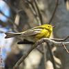 01/22/15 - Pine Warbler