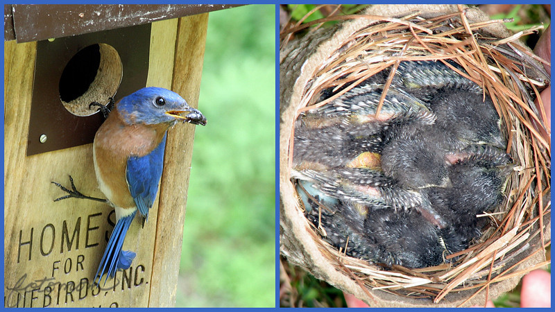 """04/28/10 - Almost a week later...<br /> The baby bluebirds that I showed you a shot of last Friday sure are growing up fast!  In this shot from yesterday, you can see quite a few feathers now.  Notice on the left a blue egg.  There were 5 eggs in this nest, and only 4 hatched.  Yesterday was the first time I saw the egg under the babies.  4 healthy bluebirds would be a success, so don't be too sad about it although I certainly do wish the 5th egg had hatched.<br /> <br /> Both pictures were taken yesterday.  The one on the right with my S3 is just cropped.  The one on the left, the male bluebird, was taken with my Dad's Canon 40D which I have on loan.  I've gotta tell ya, that I can't take a SOOC good picture with that camera.  The picture has been contrast and color corrected and sharpened, and I'm still not totally happy with how it turned out.  The camera was in AV mode with whatever defaults that gave.  I had it on a tripod.  Tamron AF 70-300mm 4-5.6.  Maybe just too cloudy of a day for that longish lens?  But I've taken shots with the 40D and a Canon 28-135 lens with similar lackluster results.  Any suggestions?  I'll never upgrade if I can't do better than this.<br /> <br /> I did get the raw image btw.  The original male bluebird jpg shot is here:<br /> <br /> <a href=""""http://fotomom.smugmug.com/Nature/April-2010/11699927_Ufdur#850063822_47e54"""">http://fotomom.smugmug.com/Nature/April-2010/11699927_Ufdur#850063822_47e54</a><br /> <br /> Also, I had a close encounter with a rat snake while sitting near this nest for my shots.  Either I nearly sat down on top of him or he slithered up to where I was sitting so quietly and intently looking through the 40D view finder.  I looked down near my knees and feet (sitting legs crossed), and there he was inches from my shoe!  I have to say that I did not scream and calmly stood up, grabbed Dad's camera on the tripod and backed up and started taking his picture.  And then a few minutes later it hit me just how close that w"""