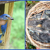 "04/28/10 - Almost a week later...<br /> The baby bluebirds that I showed you a shot of last Friday sure are growing up fast!  In this shot from yesterday, you can see quite a few feathers now.  Notice on the left a blue egg.  There were 5 eggs in this nest, and only 4 hatched.  Yesterday was the first time I saw the egg under the babies.  4 healthy bluebirds would be a success, so don't be too sad about it although I certainly do wish the 5th egg had hatched.<br /> <br /> Both pictures were taken yesterday.  The one on the right with my S3 is just cropped.  The one on the left, the male bluebird, was taken with my Dad's Canon 40D which I have on loan.  I've gotta tell ya, that I can't take a SOOC good picture with that camera.  The picture has been contrast and color corrected and sharpened, and I'm still not totally happy with how it turned out.  The camera was in AV mode with whatever defaults that gave.  I had it on a tripod.  Tamron AF 70-300mm 4-5.6.  Maybe just too cloudy of a day for that longish lens?  But I've taken shots with the 40D and a Canon 28-135 lens with similar lackluster results.  Any suggestions?  I'll never upgrade if I can't do better than this.<br /> <br /> I did get the raw image btw.  The original male bluebird jpg shot is here:<br /> <br /> <a href=""http://fotomom.smugmug.com/Nature/April-2010/11699927_Ufdur#850063822_47e54"">http://fotomom.smugmug.com/Nature/April-2010/11699927_Ufdur#850063822_47e54</a><br /> <br /> Also, I had a close encounter with a rat snake while sitting near this nest for my shots.  Either I nearly sat down on top of him or he slithered up to where I was sitting so quietly and intently looking through the 40D view finder.  I looked down near my knees and feet (sitting legs crossed), and there he was inches from my shoe!  I have to say that I did not scream and calmly stood up, grabbed Dad's camera on the tripod and backed up and started taking his picture.  And then a few minutes later it hit me just how close that was.  I will be watching for him next time!  However, that said, he never bowed up or hissed or made any threatening moves.  He was just sunning himself.  I let him go on his way.  Picture of him:<br /> <br /> <a href=""http://fotomom.smugmug.com/Nature/April-2010/11699927_Ufdur#850067851_9ws2D"">http://fotomom.smugmug.com/Nature/April-2010/11699927_Ufdur#850067851_9ws2D</a><br /> <br /> I hope you all get great shots today minus the near encounter with any snakes!<br /> <br /> Thanks for the feedback on the peony shot.  I took more yesterday of a different flower, but the bluebirds won the POTD slot.<br /> <br /> HAGD,<br /> Maryann"