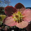 "02/16/11 - Helleborus<br /> <br /> Another shot from my trip to The Garden Hut on Monday.  This is a variety of Helleborus.  If I'd been smart, I would have taken a picture of the tag showing the variety:-)  I have a dark almost black in my yard and a pale pink but not this beautiful darker pink color.  So pretty...but it was either the flower or the bird seed, so I got the bird seed.  Maybe the flower on another day.  <br /> <br /> If you want to read more about this plant, here's the Wikipedia link:<br /> <br /> <a href=""http://en.wikipedia.org/wiki/Hellebore"">http://en.wikipedia.org/wiki/Hellebore</a><br /> Apparently it's native to Europe.  Here in the states it's a premium plant:-)<br /> <br /> Thanks for your comments on my 'alien' shot from yesterday.  I still smile when I look at his 'cute' face.  Some could argue that today's shot has an alien type center.  Not quite as much as a passion flower.<br /> <br /> In case you are wondering, this helleborus was obviously greenhouse grown because the ones in my yard are NOT flowering right now.<br /> <br /> HAGD,<br /> Maryann"