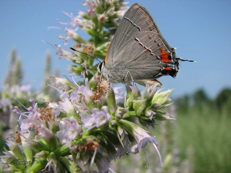 "06/27/10 - Common Gray Hairstreak<br /> On the way to Marbles Kids Museum with the kids yesterday, I stopped at the Yates Mill parking lot to look for butterfly picture opportunities.  I took several shots of skippers including one showing his straw (proboscis) perfectly coiled:<br /> <br /> <a href=""http://fotomom.smugmug.com/Nature/June-2010/12400102_x8pU2#914348076_fvWfU"">http://fotomom.smugmug.com/Nature/June-2010/12400102_x8pU2#914348076_fvWfU</a><br /> <br /> But I also saw this neat silver colored butterfly.  After Googling for a few minutes, I found that this guy is a Gray Hairstreak.  Somewhere between the size of a dime and a nickel...tiny.  <br /> <br /> I think we can all agree that this would be a better shot if the butterfly were turned at least 15 more degrees towards me, but this is the best I got.<br /> <br /> I have to say that I was confused for a few minutes which was the head and which was the 'tail'.  Look at the antennae look alike sticking out from the back (right).     <br /> <br /> <br /> There is a better view of the tail here:<br /> <br /> <a href=""http://fotomom.smugmug.com/Nature/June-2010/12400102_x8pU2#914355057_HY2RB"">http://fotomom.smugmug.com/Nature/June-2010/12400102_x8pU2#914355057_HY2RB</a><br /> and then the thumbnail to the right of that one.<br /> <br /> The kids and I did have fun at Marbles.  A collage of pics of our day is here:<br /> <br /> <a href=""http://fotomom.smugmug.com/Marbles-Kids-Museum/Marbes-Kids-Museum-062610/12706129_KsNRT#914428578_dNifL"">http://fotomom.smugmug.com/Marbles-Kids-Museum/Marbes-Kids-Museum-062610/12706129_KsNRT#914428578_dNifL</a><br /> <br /> Fireman John and tower builders Madi and Joey sure were fun to watch.<br /> <br /> Hope you're having a great weekend!<br /> Maryann<br /> <br /> Edited on 6/29 to remove reference to King's Hairstreak which is rare.  This was identified by a butterfly specialist as a common Gray Hairstreak."