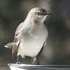 01/12/14 - Mockingbird