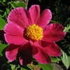 "04/27/10 - Peony<br /> I don't think this is a great shot in any way, but I am excited that this peony is blooming in my yard right now.  There are 5-7 blooms on it.  3-4"" inches diameter.  This is the flattest and darkest color peony I've ever seen.  I'm not sure how I ended up with this variety.  I grew up with very fond childhood memories of peonies, and when I see this plant, I think of the good 'ol days.  For a truly vintage shot, click here:<br /> <br /> <a href=""http://fotomom.smugmug.com/Nature/April-2010/11699927_Ufdur#849040111_pX9Lz"">http://fotomom.smugmug.com/Nature/April-2010/11699927_Ufdur#849040111_pX9Lz</a><br /> <br /> I was in M mode trying very hard to control the exposure on this shot.  The wind was bouncing the flower around on me too.  Cropped square but otherwise unaltered.<br /> <br /> Thanks so much for the feedback on yesterday's pansy shot.  Wow!  I think in the future with the right flower I will try that watercolor filter again:-)  <br /> <br /> HAGD,<br /> Maryann"