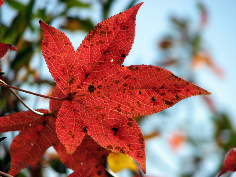 """11/18/10 - Blazing Star<br /> <br /> Just a sweetgum tree leaf showing off it's fall colors.  I kindof liked the sideways composition and the extra color in the dof.  Taken at Yates Mill on a real quick swing thru yesterday.  Most of the down low color on the opposite bank of the mill pond from the mill is gone now.  I wanted to retake a view that I took Sunday with Johnny's camera, and after the storm that we had Tuesday night, the leaves on that tree were gone.  Picture moments really can be so fleeting.  I took this view instead, but I'm not getting good vibes from it:<br /> <br /> <a href=""""http://fotomom.smugmug.com/Nature/November-2010/14469851_VGFCn#1095277827_gbqPC"""">http://fotomom.smugmug.com/Nature/November-2010/14469851_VGFCn#1095277827_gbqPC</a><br /> The hole was just a bit too small, and I'd rather have leaves on the other side than the tree trunk I think.  Anyway...<br /> <br /> It's the yearly family Santa Paws picture tonight.  Always a fun time and the start of the holiday enchantment for the kids.  The elves we have are now moving around the house each day, and the boys wake up with anticipation of finding them.  Sparkles even left them a note last night with alternating green and red crayon letters:-)<br /> <br /> Thanks for your comments on the steps shot...<br /> <br /> HAGD,<br /> Maryann"""