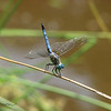 """05/29/10 - Male Blue Dasher<br /> A sure sign of summer...the dragonflies are out in force at the local swamp.  I photographed two species yesterday and saw several others.  They perch, fly around a bit, and often come back to the exact same stick, so the key to catching them is just staying focused on the perch and letting them come and go from it I think.  I liked how he was posed with his tail up:-)  <br /> <br /> I took a picture of a beaver footprint at the swamp yesterday too which is here:<br /> <br /> <a href=""""http://fotomom.smugmug.com/Nature/May-2010/12049321_ofahM#882203818_Y3rKV"""">http://fotomom.smugmug.com/Nature/May-2010/12049321_ofahM#882203818_Y3rKV</a><br /> <br /> I am pretty darn sure twice now that a beaver has dived into the water upon my approach.  Something has made a racket on two different mornings.  Good thing I'm not too easily spooked.  But then I have learned to wear jeans and socks even when it's 95 and I'm gonna shoot pictures down there.  <br /> <br /> Johnny and Madi had out the 'Jeep' yesterday and were nearly hysterical driving it.  They took turns behind the wheel, and the other would push the gas.  Jerk stops and starts, intentionally running into things...BUMP!   It was just a crazy fun time for about 30 minutes.  Sadly, they are nearly too big for it.<br /> <br /> <a href=""""http://fotomom.smugmug.com/Nature/May-2010/12049321_ofahM#882198114_qbH22"""">http://fotomom.smugmug.com/Nature/May-2010/12049321_ofahM#882198114_qbH22</a><br /> <br /> After serious enough storms to take out our power last night and a lot of rain again, the kids and I are off to try to enjoy a few parks today.  Tomorrow will be our big water and picnic day at Madi's house.<br /> <br /> Thanks for your comments on my butterfly shot from yesterday.  I was back at the swamp 3 times yesterday.  It is peak time for the wild, orange daylilies.  However, I did not see any great butterflies come through while I was there.  I did have my first sighting of the green heron"""