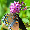 08/16/13 - Red-Spotted Purple