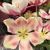 04/01/15 - Tulips