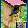 "07/10/09 - Eastern Bluebirds are a wonderful bird to watch and enjoy.  If you live in their habitat range, you might consider putting up a specially designed bluebird nesting box.  In NC, you will see a lot of these Bailey bluebird boxes.  You can read about and order them <a href=""http://www.danfinch.com/birds.htm"">here</a> (much cheaper than in those specialty bird stores).  Then you too might be able to take this picture:-)  These boxes have a nesting cup inside.  And, the parent birds are tolerant of daily inspections where the host human lifts out the nesting cup and inspects the eggs or babies.  That's how I was able to get the picture insert on the right.  Those really are the babies in that box.  In about another week, they will be more blue, and they will fly away (hopefully).  If you aren't familiar with the species, this is the male bluebird (more blue).    When I showed Joey this picture, he asked me how I got the picture on the right...assumed I had some special camera it the box.  We talked about layers, and I showed him that it's actually 2 pictures.  He thought that was cool:-)  Hey, I think it's cool too.    Saturday (tomorrow), I get to go to <a href=""http://www.ncmls.org"">the Durham Museum of Life and Science</a> with Joey, Johnny, and Madi.  Except that it will be in the 90s and we'll mostly be outside, it will be a great day.  MANY picture ops there of cute kids and wildlife in the wetlands.  We have a membership and go often.  I am hoping to see the green heron that visits the wetlands there since I missed the shot in my local swamp.  You all have a great day and thanks for looking!  The original and bigger nest shot and bluebird box shots are <a href=""http://fotomom.smugmug.com/gallery/8757532_tsCUa#586662852_h5etR"">here</a> forward in this album."