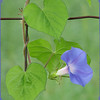 08/18/11 - Morning Glory!<br /> <br /> Another late daily taken on the way home from dropping the kids off at school.  This fence is pretty close to the road with a ditch and poison ivy:-(  But, I got a few shots I liked, and this one was my favorite of the batch.  Behind the fence is a beautiful grassy field.  <br /> <br /> We're enjoying slightly cooler temps:-)<br /> <br /> Thanks for your comments on my texted yellow flower shot from yesterday...<br /> <br /> HAGD,<br /> Maryann