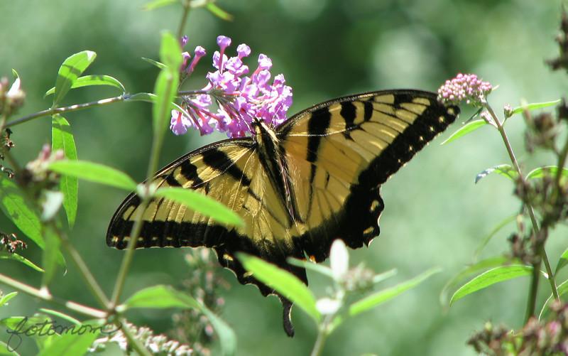 07/29/14 - Swallowtail
