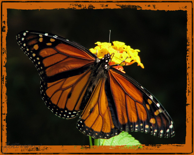 """08/04/11 - Monarch<br /> <br /> A big thanks to Christine, Madi's mom, for AIM'ing me yesterday morning to let me know that she had a Monarch making the rounds in her garden.  I grabbed my camera and was across the street in a flash!  This guy was pretty cooperative letting me take nearly 100 photos.  I got about 8 wing open shots, and this is the one I thought was the best.<br /> <br /> I did quite a bit to get it ready to share with you:<br /> A layer to separate the lantana flower to darken it<br /> A layer to separate the lantan leaf to darken it<br /> A layer for the butterfly to adjust the color<br /> Remove brown illy stem from background on a copy of original layer<br /> Add two frames in PhotoFrame<br /> <br /> Here's the original:<br /> <br /> <a href=""""http://fotomom.smugmug.com/Nature/August-2011/18330920_7pCmrW#1414260350_CszKgZS"""">http://fotomom.smugmug.com/Nature/August-2011/18330920_7pCmrW#1414260350_CszKgZS</a><br /> <br /> Here's a lovely side view:<br /> <br /> <a href=""""http://fotomom.smugmug.com/Nature/August-2011/18330920_7pCmrW#1415462643_jtSSQFb"""">http://fotomom.smugmug.com/Nature/August-2011/18330920_7pCmrW#1415462643_jtSSQFb</a><br /> <br /> Here's an artistic embossed style version:<br /> <br /> <a href=""""http://fotomom.smugmug.com/Nature/August-2011/18330920_7pCmrW#1415459052_Z5ZpnFb"""">http://fotomom.smugmug.com/Nature/August-2011/18330920_7pCmrW#1415459052_Z5ZpnFb</a><br /> <br /> Thanks for your comments on yesterday's dragonfly picture..<br /> <br /> HAGD,<br /> Maryann"""