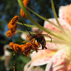 "07/01/11 - The Pollinator<br /> <br /> I went out in my front yard yesterday afternoon to take pics of these pretty lilies:<br /> <br /> <a href=""http://fotomom.smugmug.com/Inspirations/Inspirations/10386893_s5msk/1330566540_W3nMWwF/1330566540_W3nMWwF#1363067494_Xc2g8fL"">http://fotomom.smugmug.com/Inspirations/Inspirations/10386893_s5msk/1330566540_W3nMWwF/1330566540_W3nMWwF#1363067494_Xc2g8fL</a><br /> <br /> and there were several interesting bugs on them.  I think from the top view that this guy looked like a cucumber beetle, but I'm not positive.  At any point, I thought his antennas were humorous, and the details of the pollen in his mouth are pretty cool.  For my 'bug' interested SmugMug friends...  <br /> <br /> Yesterday was the last day of schools for the kids.  We are headed to the much anticipated Cars 2 today.  It's good to laugh inbetween the tears...  <br /> <br /> Thanks for your comments on Madi in the ice cream:-)<br /> <br /> Madi's POTD:<br /> <br /> <a href=""http://fotomom.smugmug.com/Daily-Photos/LightningFastJoeys-POTD/11187845_dd7pS#1363069907_MwRjHQj"">http://fotomom.smugmug.com/Daily-Photos/LightningFastJoeys-POTD/11187845_dd7pS#1363069907_MwRjHQj</a><br /> <br /> HAGD,<br /> Maryann"