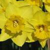 03/20/15 - Daffodil