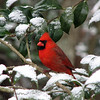 "02/11/11 - Mr. Cardinal<br /> <br /> What you see is what we got in the snow department yesterday.  Just enough snow falling at dawn to dust the trees and make for some beautiful scenes and then it was gone again as fast as it came with the sun coming out by 10AM.  <br /> <br /> We were getting ready to head out the door for school when I noticed Mr. Cardinal out the kitchen window sitting there all majestic on this branch.  QUICK.  Grab the camera, turn it on, shoot!  Of course the camera is telling me there's not enough light.  Sigh...  I take a deep breath and hold it and try to steady myself on the corner of the microwave so I can please, please, please get an in focus shot of him.  I got off about 6 shots before he flew.  This is the best.  Well, it's almost in focus.  Or, it's in focus but it's lacking a bit of clarity.  It's a pretty scene, but don't blow it up too large today;-)<br /> <br /> I grabbed a few other shots of snow scenes that I liked too, but after not posting the cardinal shot I took last week, I figured I'd better post this one.<br /> <br /> RE yesterday's nebula.  Thank you so much for the comments...   I finished that up around midnight.  I thought to myself, ""The only thing missing is DS9 or the Enterprise floating in it.  There are, quite seriously, spaceship models hanging from my family room ceiling including Enterprise and DS9.  My husband put them together and hung them years ago.  I considered trying to take a picture of one of them and then stripping it out of it's background and inserting it into the nebula, but then I would have been up to 1AM.  At any point, I loved all your comments and I guess my vision included Star Trek too:-)  Next time!<br /> <br /> HAGD,<br /> Maryann"