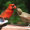"05/25/11 - Male Northern Cardinal and Fledgling<br /> <br /> I've been watching the male and his 'babies' for several days now.   On Sunday I took a shot of him with two kids:<br /> <br /> <a href=""http://fotomom.smugmug.com/Nature/May-2011/16865229_xX2Jk5#1302891302_rjr2CNx"">http://fotomom.smugmug.com/Nature/May-2011/16865229_xX2Jk5#1302891302_rjr2CNx</a><br /> <br /> At first I assumed that the fledglings were females, but I read last night that all the babies look like females until they molt in the fall and get in their adult feathers, so who knows.  <br /> <br /> Now, these guys obviously look big enough to feed themselves yet they and other fledgling babies I have observed this year stand near the parents, mouth open, making quite a fuss until the parent feeds them.  What is up with that?  <br /> <br /> I just put out fresh water and more sunflower hearts, so this scene is bound to repeat itself today.<br /> <br /> Also, I've not seen the mom at the feedings.  Cardinals also have 2-3 broods a year, so she is most likely sitting on new eggs.<br /> <br /> Thanks for your comments on my coneflower shot...<br /> <br /> HAGD,<br /> Maryann"