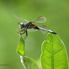 08/26/13 - Dragonfly on Milkweed