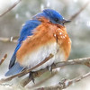 02/24/15 - Bluebird in the Snow