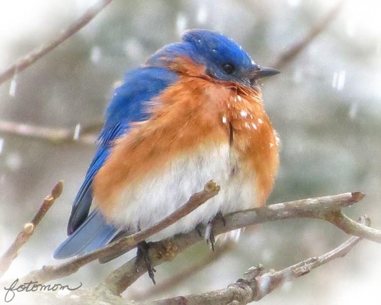 02/24/15 - Bluebird in the Snow