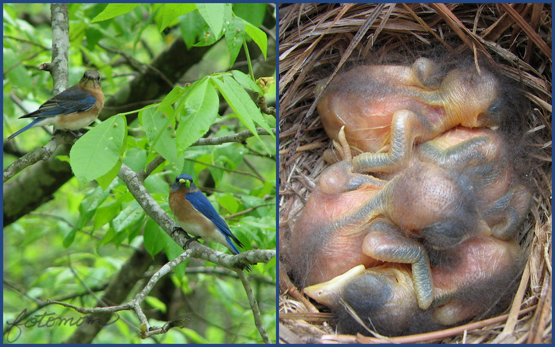 04/22/10 - Proud and Busy Parents<br /> As I promised earlier this spring, here are some more bluebird pics from a box near work.  The mom is upper left with the dad holding an inch worm? in his mouth.  They have this caught in the act look:-)  The several day old babies are of course on the right.  I count 4.  The babies will get much cuter as they get bigger.  I love the beak in the lower part of the frame.  The faces are all eyes and beaks at first.  Don't worry, bluebirds tolerate humans quite well, and the babies were out of the box for less than a minute.  Mom was out to begin with and flew back in after.  <br /> <br /> Thanks so much for your feedback on the wet yellow flower:-)  I really like shooting flowers from underneath and getting the blue sky in the shot.  That picture was taken at 9AM.  A great time to shoot in the spring to catch the wonderful early morning light.  Facing West at that time, the sky is often very blue.  <br /> <br /> Joey and I are off to Take Your child to Work Day.  Convenient that he's still tracked out of his year round school (until this coming Monday).  <br /> <br /> HAGD,<br /> Maryann