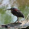 "09/14/09 - This is a green heron.  He was hanging out eating fish near the lower boardwalk at the Museum of Life and Science in Durham on Saturday.  I've seen a green heron at this wetland area 2 or maybe 3 summers in a row now and have taken pictures.  It's always very exciting to see and take pictures of this beautiful bird, and this weekend was just the greatest because he was feeding so close (15' - 20-).  This green heron will probably migrate farther south soon to somewhere along the Gulf Coast or even into Mexico.  I've never seen one at the museum wetlands in the winter.    <br /> <br /> For a wide view of the wetlands, look here:<br />  <a href=""http://fotomom.smugmug.com/Durham-Museum-of-Life-and/Life-and-Science-091209/9615798_zBqKB#648005544_CYW5W"">http://fotomom.smugmug.com/Durham-Museum-of-Life-and/Life-and-Science-091209/9615798_zBqKB#648005544_CYW5W</a><br /> <br /> For a picture of this heron with a fish in his mouth, look here:<br />  <a href=""http://fotomom.smugmug.com/Durham-Museum-of-Life-and/Life-and-Science-091209/9615798_zBqKB#647998981_uX4tw"">http://fotomom.smugmug.com/Durham-Museum-of-Life-and/Life-and-Science-091209/9615798_zBqKB#647998981_uX4tw</a><br /> <br /> From Wikipedia:<br />  <a href=""http://en.wikipedia.org/wiki/Green_Heron"">http://en.wikipedia.org/wiki/Green_Heron</a><br /> <br /> For the museum, click here:<br />  <a href=""http://www.ncmls.org"">http://www.ncmls.org</a><br /> It's not just for kids!<br /> <br /> HAGD!<br /> Maryann"