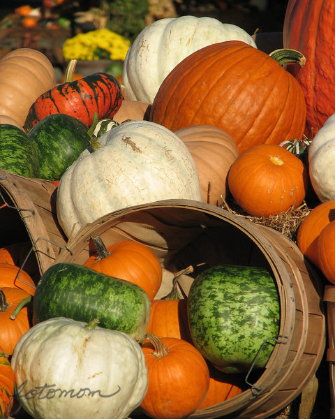 "10/09/09 - How many?  What Kind? See how many different kinds of pumpkins you can spot in this photo.  I counted 6...maybe 7 if the super big one upper right is a different variety.  The green ones look like watermelon pumpkins:-) Believe it or not, they have more types that aren't picture like turbine pumpkins.   I was at <a href=""http://www.porterfarmsandnursery.com"">Porter Farms and Nursery</a> before and after work yesterday taking pictures again:-)  It's so nice that this great place is only about a mile from my house.  I spoke with one of the owners, and she asked me if I'd go to their Facebook page and provide a link to the pictures I was taking and of course I said sure and have done that.    Joey is 7 today!  I took the day off, and he's tracked out of his year round school schedule, so we're off for some fun!  Thanks for the comments on yesterday's pumpkin picture:-)  TGIF! Maryann"