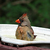 "06/13/10 - Bath Time!<br /> I was so excited to show you a shot from our trip to the Museum of Life and Science in Durham yesterday...that is until this female Cardinal decided to take a bath in the bird bath just outside my kitchen sink window while I was cooking dinner.  She stole my heart.  Low light and through a window and her moving caused this to be a tad less sharp then I'd like, but I still love it.  I adjusted the contrast, upped the sharpening a smidge, and did a slight crop.  Another small bird joined her for a bit, but I didn't get a shot off or identify.  After her, a Black-<br /> Capped Chickadee took his bath.  I love this bird bath!  See:<br /> <br />  <a href=""http://www.duncraft.com/index/page/product/product_id/520/category_id/177/category_chain/8"">http://www.duncraft.com/index/page/product/product_id/520/category_id/177/category_chain/8</a>,177/product_name/Multi-level+Clamp+on+Deck+Bath<br /> <br /> Pictures of the splish splashing series are here:<br /> <br />  <a href=""http://fotomom.smugmug.com/Nature/June-2010/12400102_x8pU2#898664465_anLdL"">http://fotomom.smugmug.com/Nature/June-2010/12400102_x8pU2#898664465_anLdL</a><br /> <br /> I put up a blog post about the museum here:<br /> <br />  <a href=""http://maryanng.blogspot.com/2010/06/bubbles-galore-at-bubble-blitz.html"">http://maryanng.blogspot.com/2010/06/bubbles-galore-at-bubble-blitz.html</a><br /> There are a couple of collages that sum up the best pics of the day.  The museum usually point to my blog posts from their home page after an event, so I try to do an extra good job writing up our experience.  The one from the Butterfly Bash is still listed:<br /> <br />  <a href=""http://www.ncmls.org"">http://www.ncmls.org</a><br /> <br /> Some of you saw on Facebook last night (Maryann Tia Engel Goldman) that Joey was quite sick with a 103 fever.  He's up for the morning and playing his video game, and I'll go see how he's really doing after we both wake up more:-)   <br /> <br /> HAGD,<br /> Maryann"