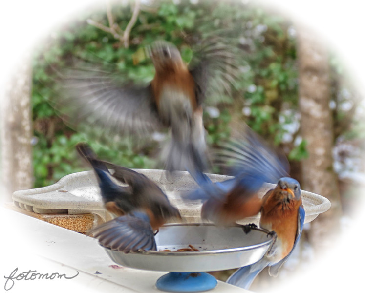 02/21/15 - Bluebirds in Flight #1