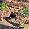 03/31/15 - Gray Vulture