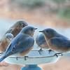01/20/15 - Bluebirds