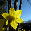 03/11/14 - Daffodil and Sky